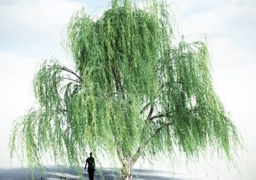 Weeping Willow (v2) | VIZPARK
