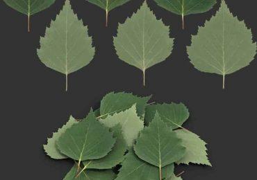 Leaf Birch I | Nordic Fx
