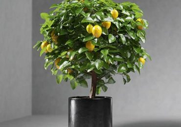 Free 3D Model – Lemon tree | VizPeople Blog